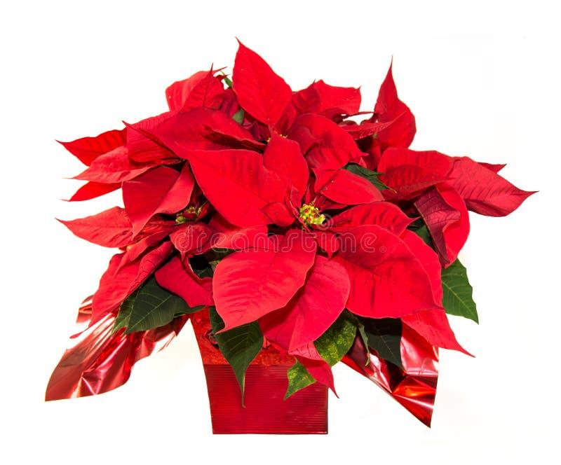 Poinsettia. Christmas Poinsettia in red vase stock photos