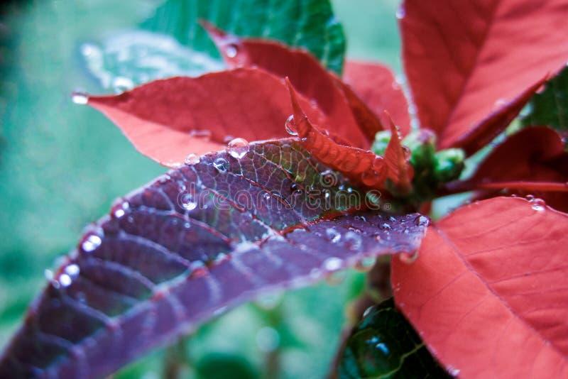 Download Poinsettia de Noël photo stock. Image du lames, lame - 45363056