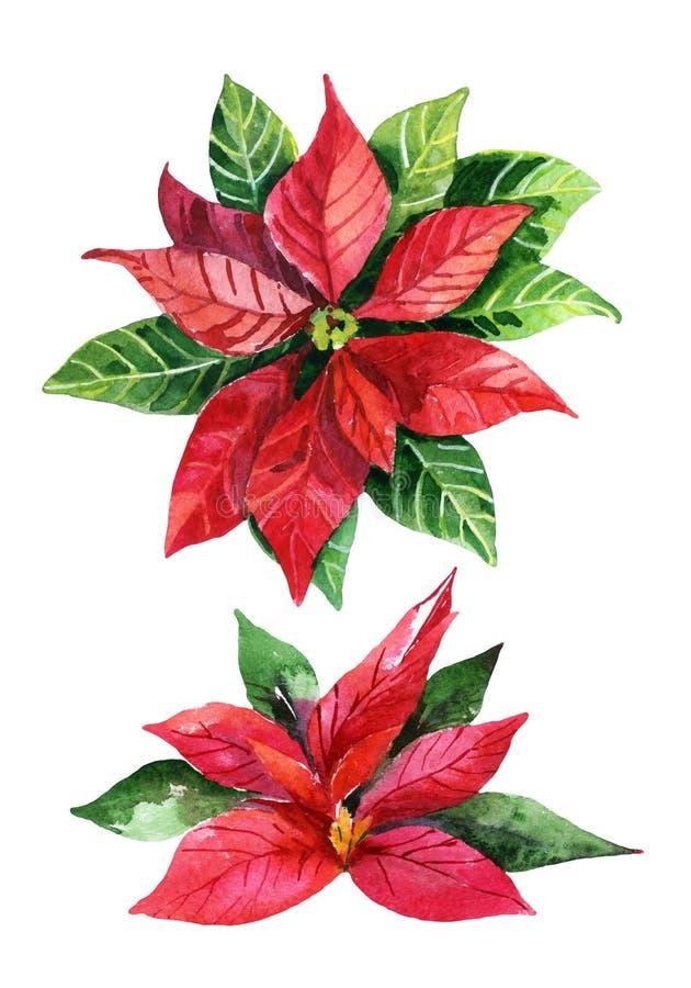 Poinsettia de Noël d'isolement sur le fond blanc, fleur d'aquarelle illustration stock
