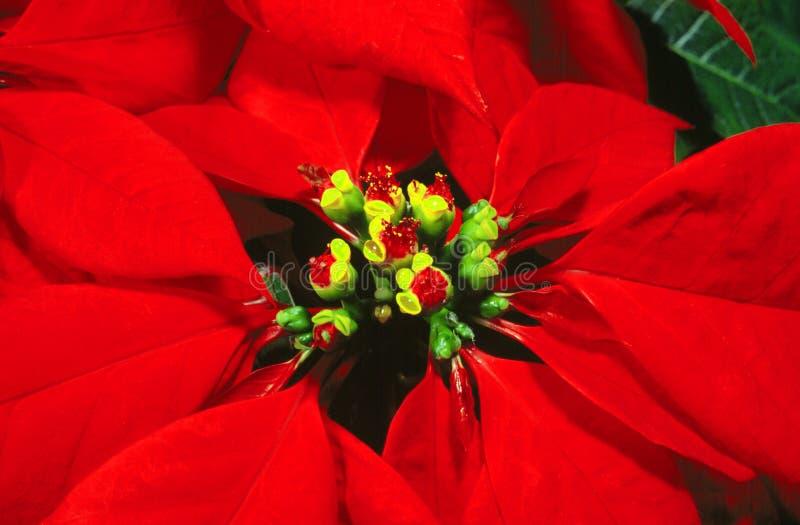 Poinsettia del fiore immagine stock