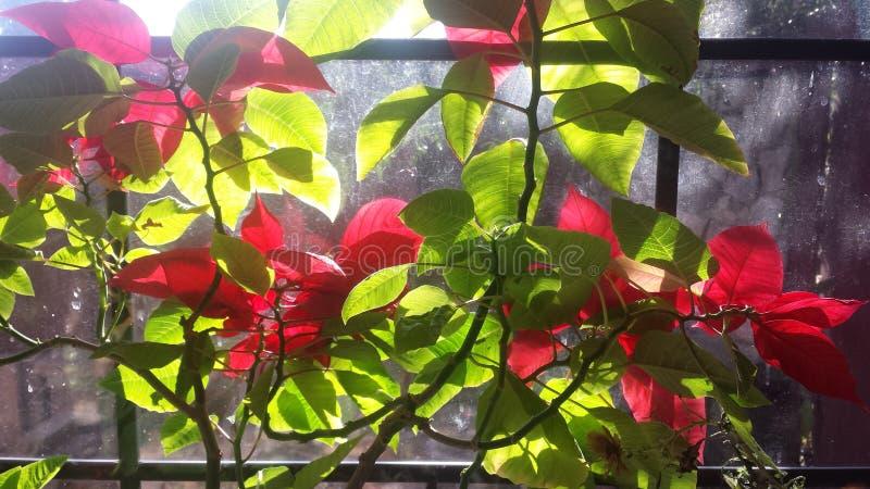 Poinsettia en été image libre de droits