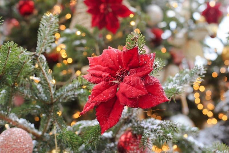 Poinsettia en el árbol de Navidad imagenes de archivo