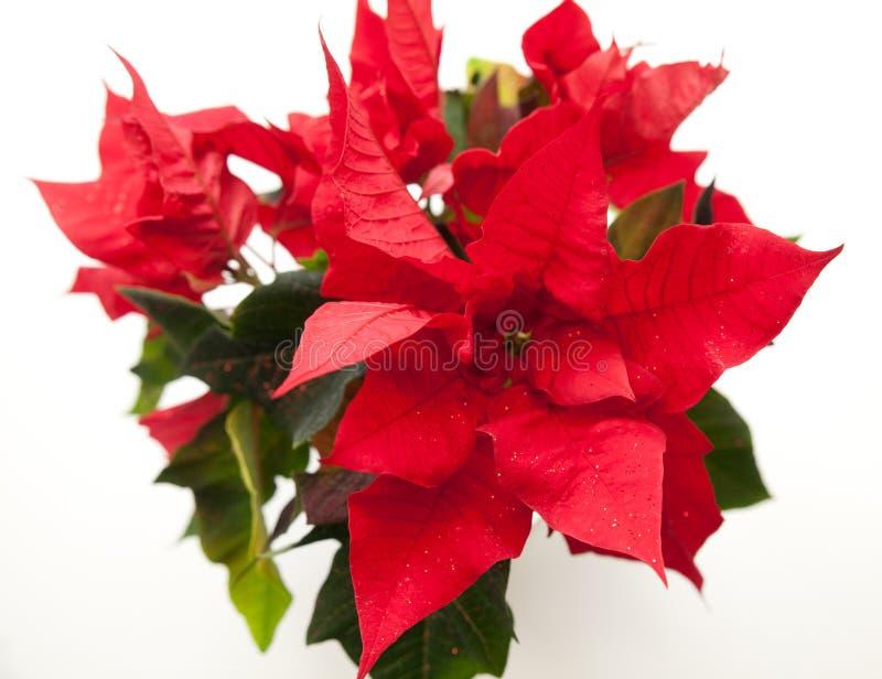 Poinsettia, euphorbe, l'étoile de Bethlehem photo stock
