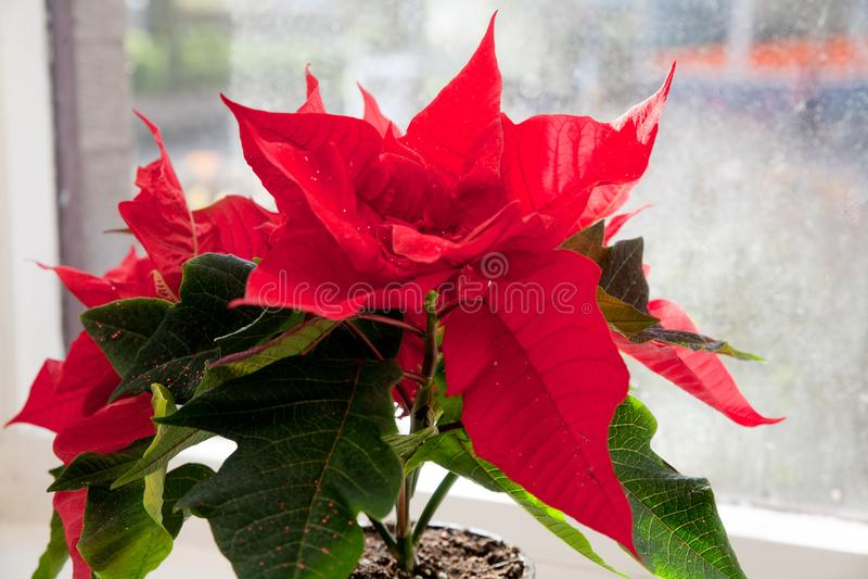 Poinsettia, euphorbe, l'étoile de Bethlehem photos stock