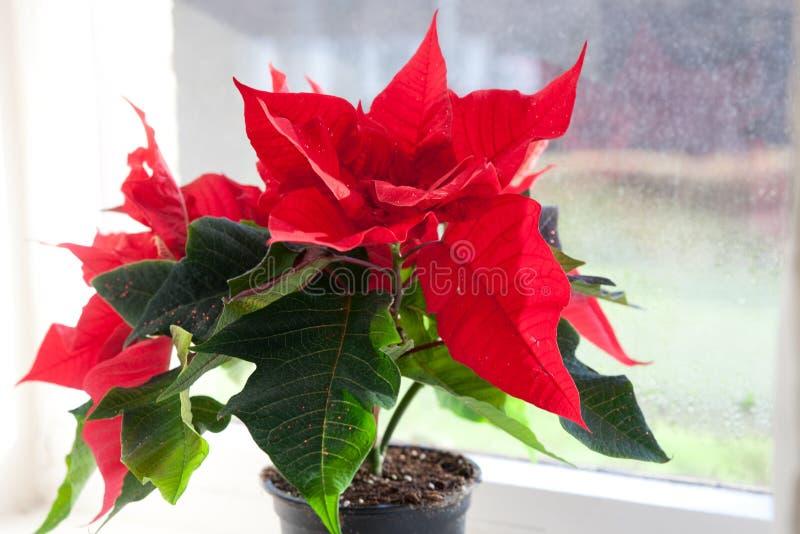 Poinsettia, euphorbe, l'étoile de Bethlehem photographie stock libre de droits
