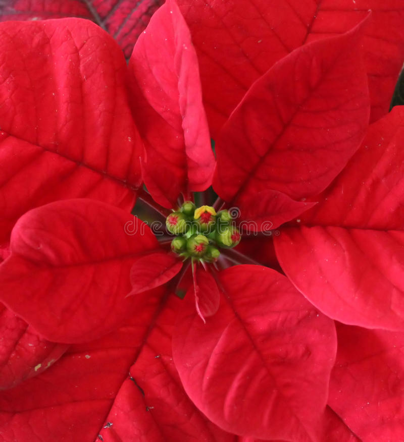 Poinsettia. A Poinsettia Euphorbia pulcherrima with red leaves royalty free stock image