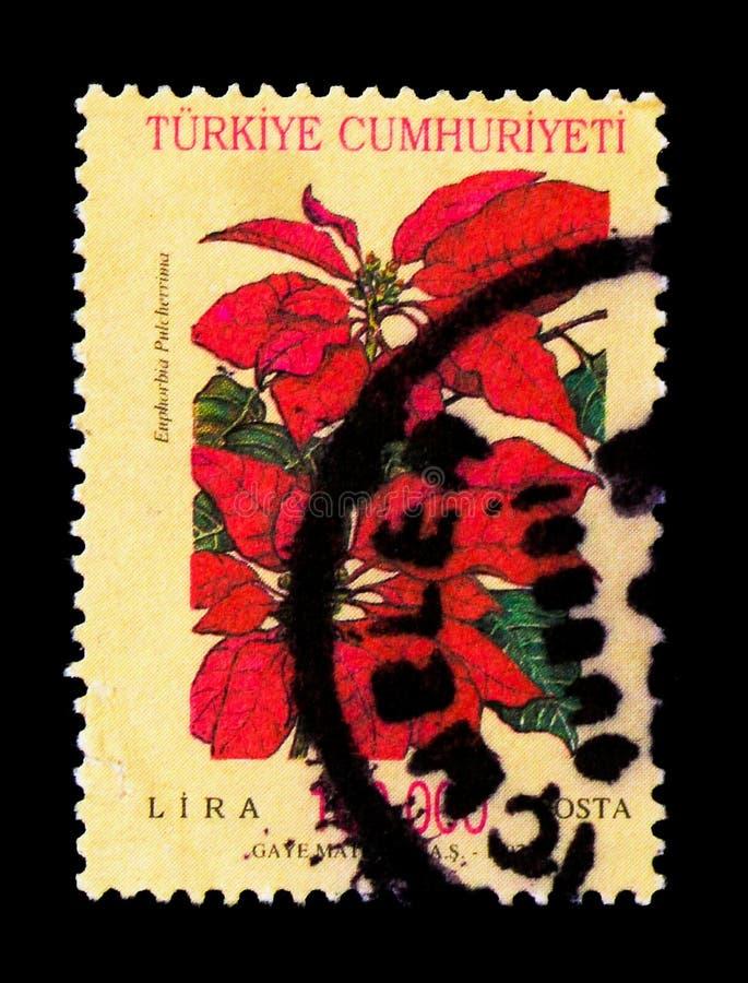 Poinsettia (Euphorbiengummi pulcherima), Poststempel: Blüht serie, lizenzfreies stockbild
