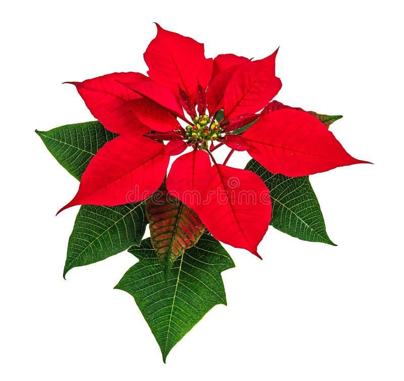 Poinsettia flower. Christmas red poinsettia flower isolated on white background royalty free stock photos