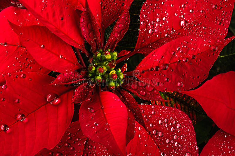 Poinsettia flower stock image