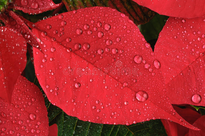 Poinsettia flower royalty free stock photo