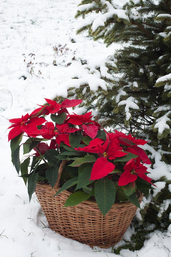 Poinsettia flowers in basket with the snowy Christmas tree background. Poinsettia flowers with the snowy Christmas tree background. Toned stock images