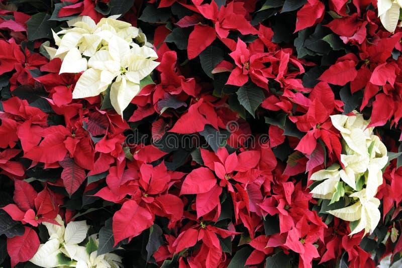 Poinsettia-Hintergrund lizenzfreie stockfotografie
