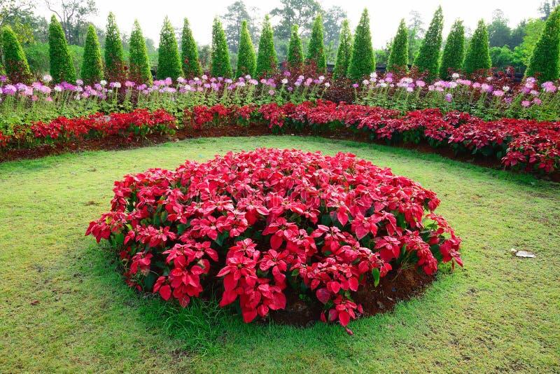 Poinsettia im Garten lizenzfreie stockfotografie