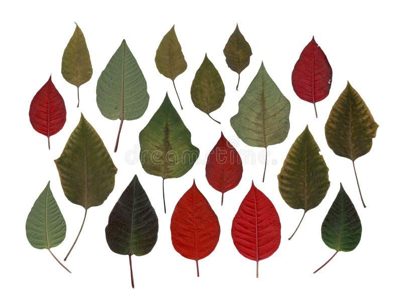 Poinsettia kleurrijke bladeren stock fotografie