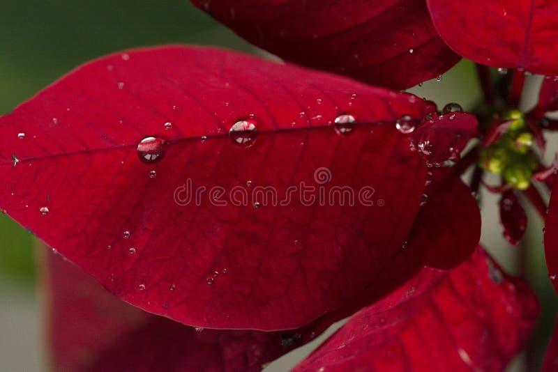 Poinsettia royalty-vrije stock afbeeldingen