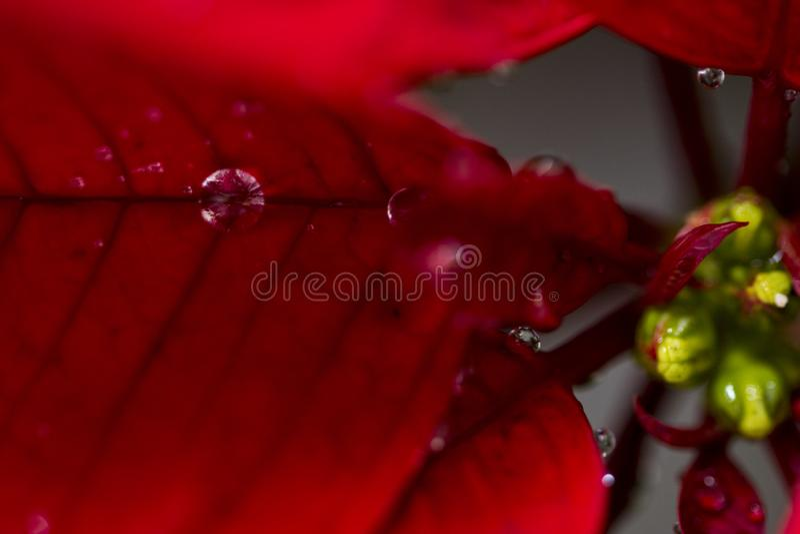 Poinsettia stock afbeeldingen