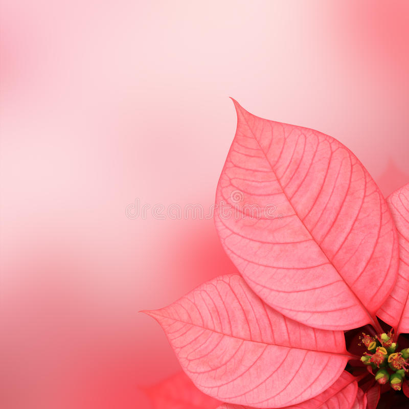 Poinsettia pink leaf royalty free stock photos