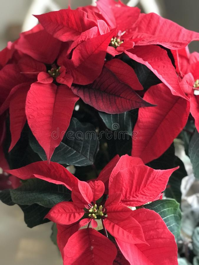 Poinsettia plant. Beautiful red leaves on a blooming poinsettia plant. The leaves change from red to green as the tiny yellow flowers appear in the center. Not stock image