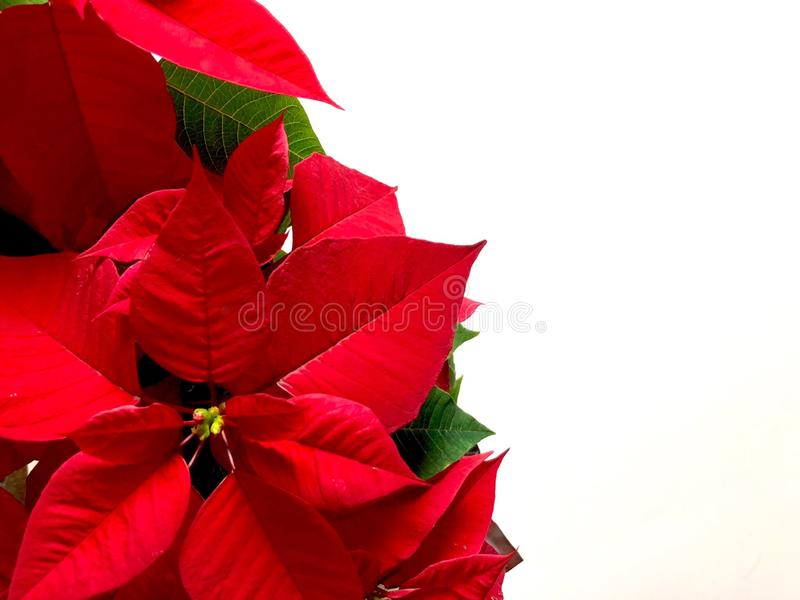 Poinsettia. Flowers on a white background royalty free stock image