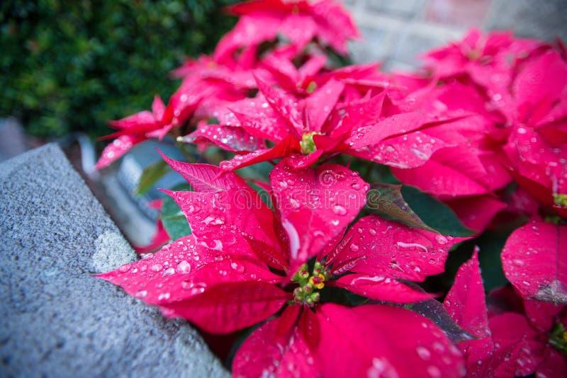 Poinsettia in rain. Poinsettia with drop of water in rain taipei taiwan royalty free stock image