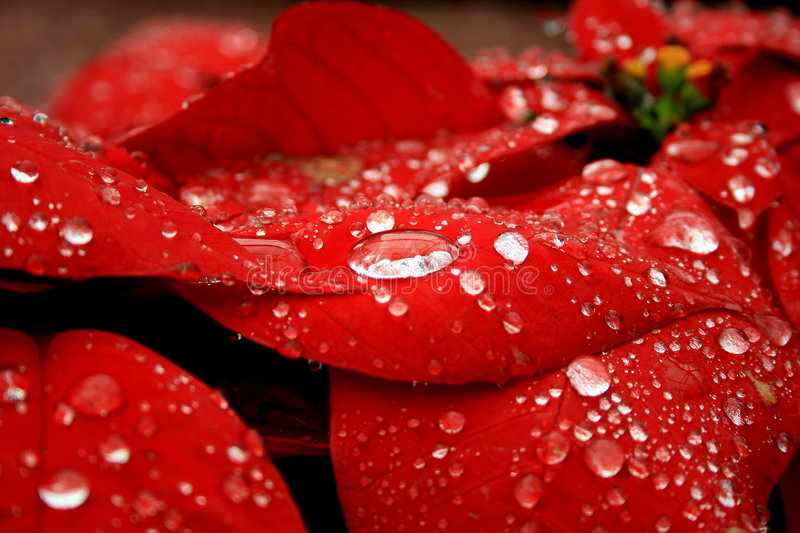 Poinsettia with raindrop. Red flower leaves with crystal clear raindrop stock image
