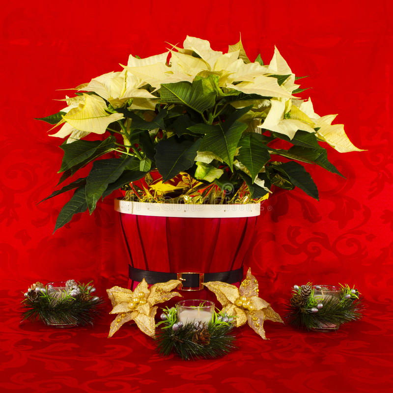 Poinsettia in a Red Basket with Candles. White Poinsettia in a Red Basket with Candles royalty free stock image