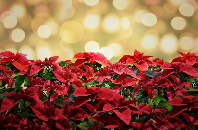 Poinsettia red christmas plant deco with lights stock images