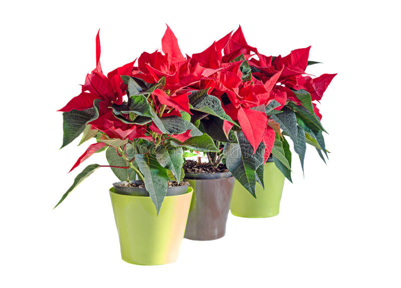 The poinsettia red flowers Euphorbia pulcherrima. The Flower of the Christmas, close up stock photography