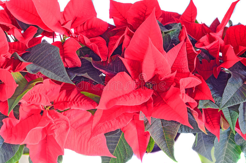 The poinsettia red flowers Euphorbia pulcherrima, The Flower of Christmas. The poinsettia red flowers Euphorbia pulcherrima, The Flower of the Christmas, close royalty free stock photography
