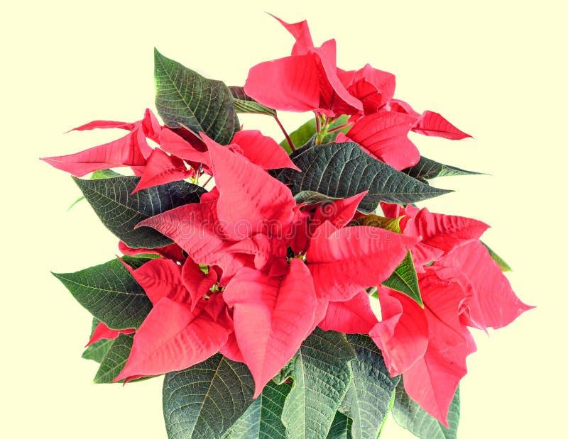 The poinsettia red flowers Euphorbia pulcherrima, The Flower of Christmas. The poinsettia red flowers Euphorbia pulcherrima, The Flower of the Christmas, close stock photo