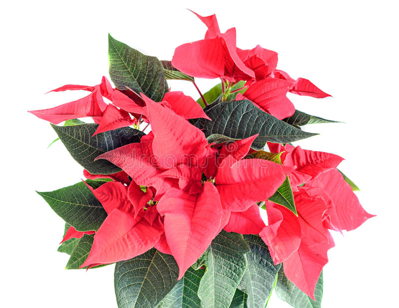 The poinsettia red flowers Euphorbia pulcherrima, The Flower of Christmas. The poinsettia red flowers Euphorbia pulcherrima, The Flower of the Christmas, close stock images