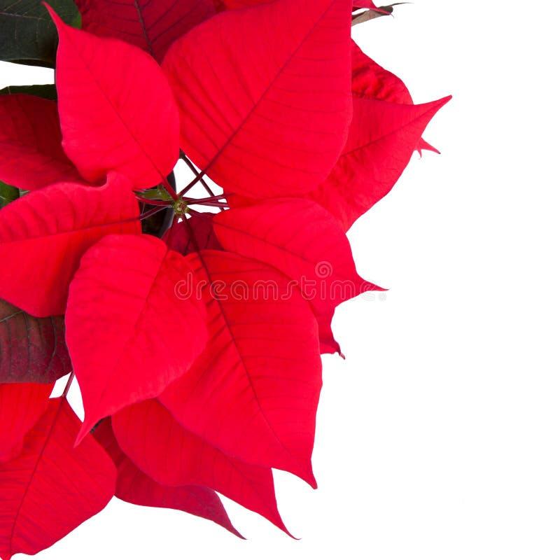 Poinsettia rojo de la flor de la Navidad foto de archivo