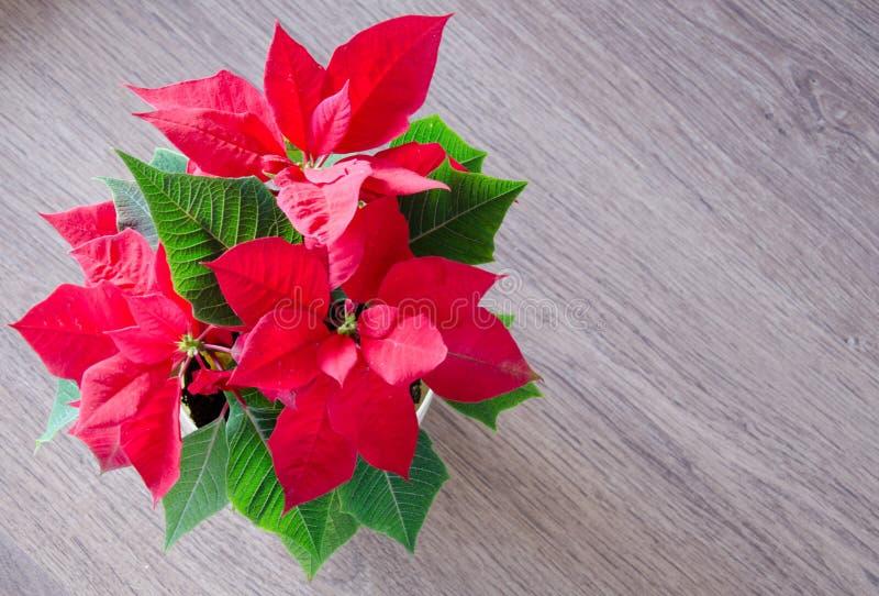 Poinsettia rojo de la flor de la Navidad imagen de archivo