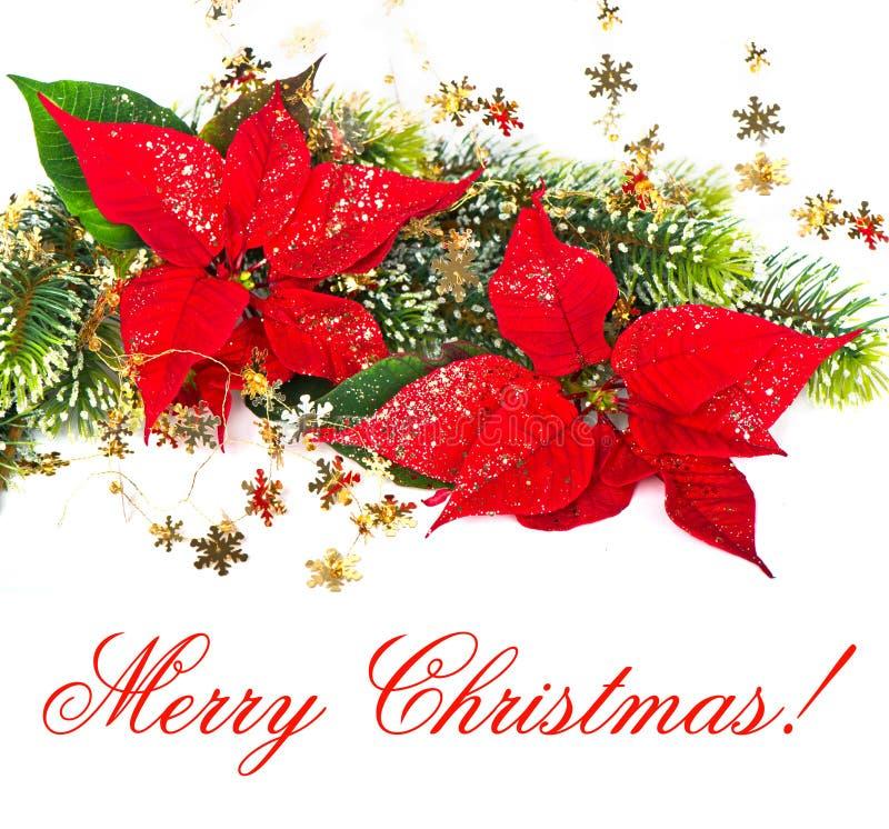 Poinsettia rojo. Flor de la Navidad fotografía de archivo libre de regalías