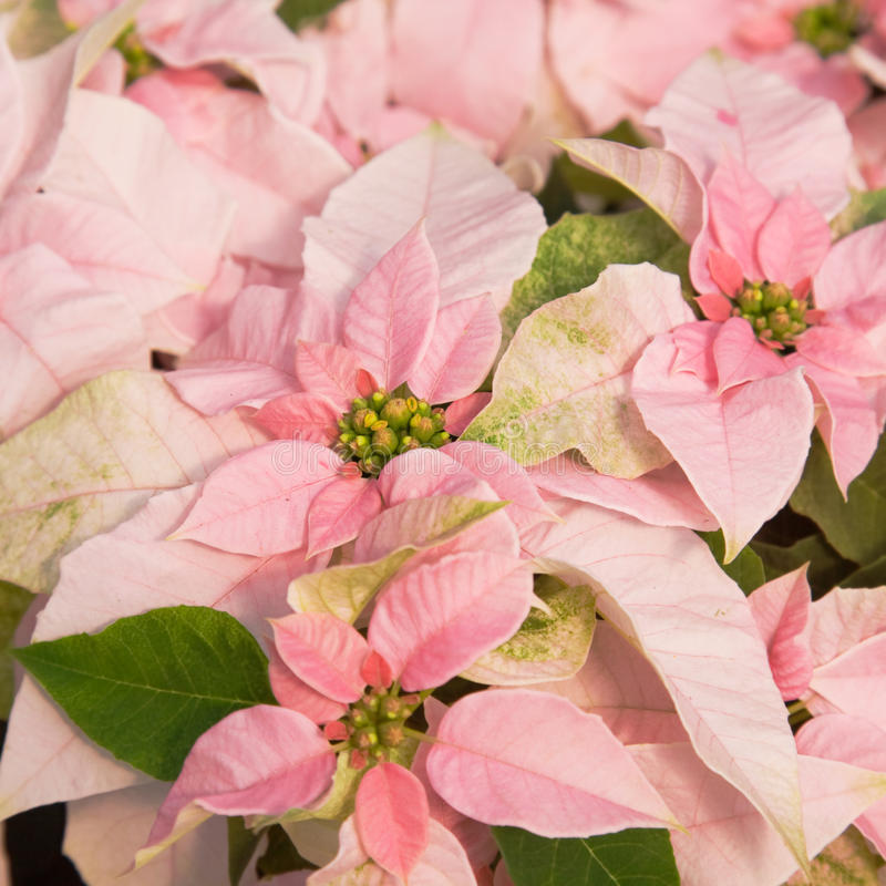 Poinsettia rose photo stock