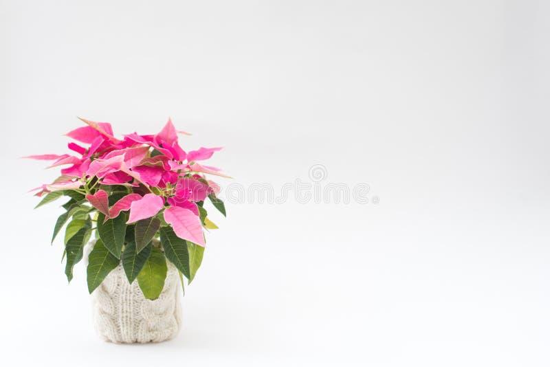 Poinsettia rose dans un pot images libres de droits
