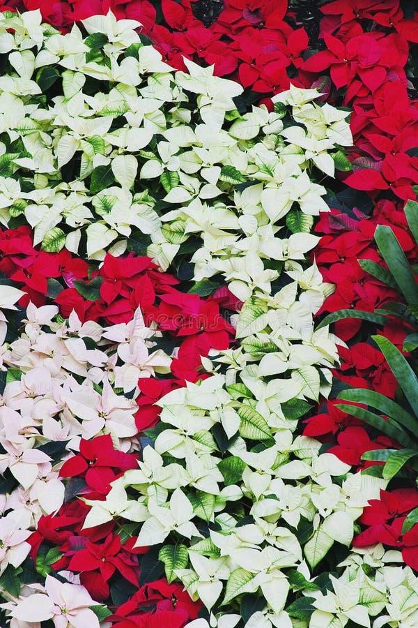 Poinsettia's stock images