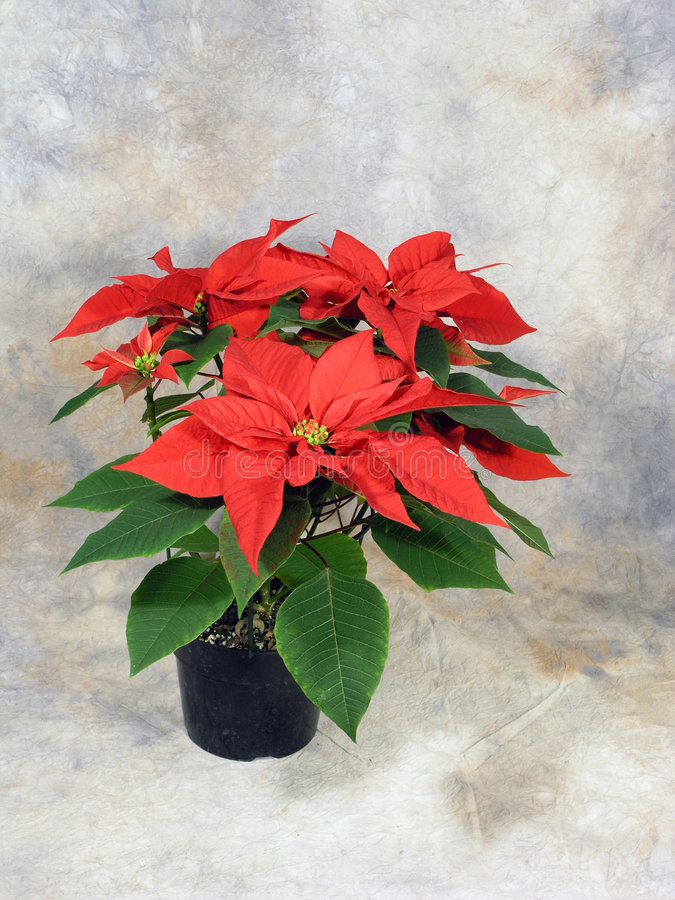 Download Poinsettia Still Life stock image. Image of canvas, beauty - 427049