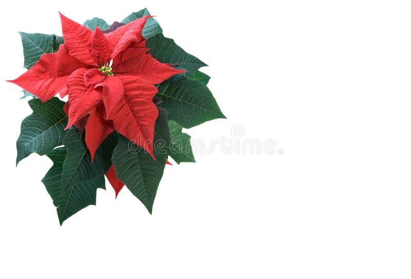Download Poinsettia Su Priorità Bassa Bianca Fotografia Stock - Immagine di rosso, verde: 7300150