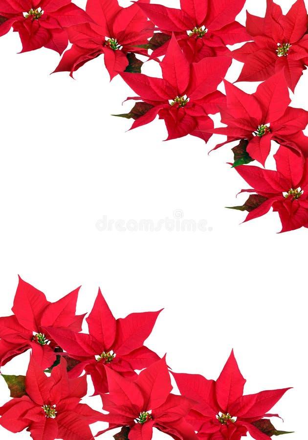Poinsettia vermelho - fundo foto de stock