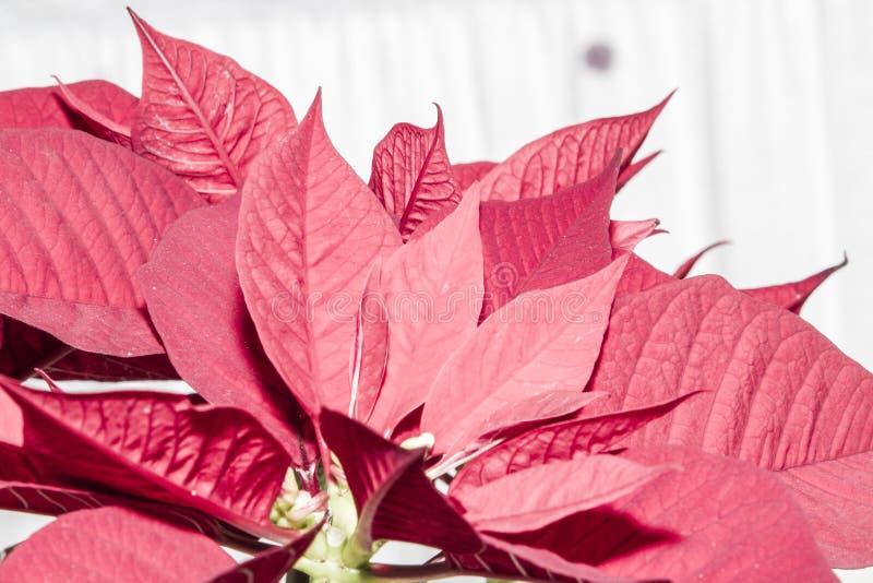 Poinsettia vermelho isolado foto de stock