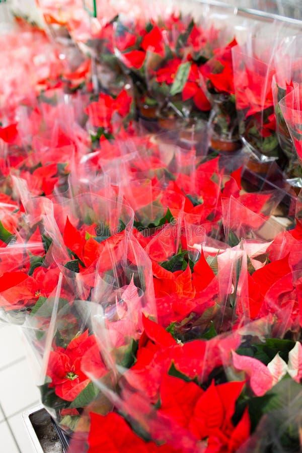 Poinsettia Weihnachtsblumen verkaufen Blumen vor Weihnachten im großen Laden stockbild