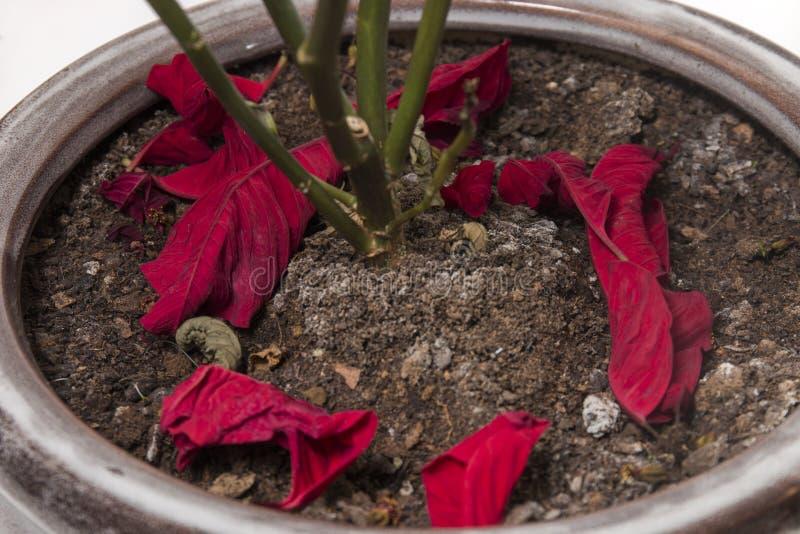poinsettia (Wolfsmelkpulcherrima) bloem stock afbeelding