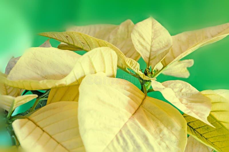 The poinsettia yellow flowers Euphorbia pulcherrima. The Flower of the Christmas stock image