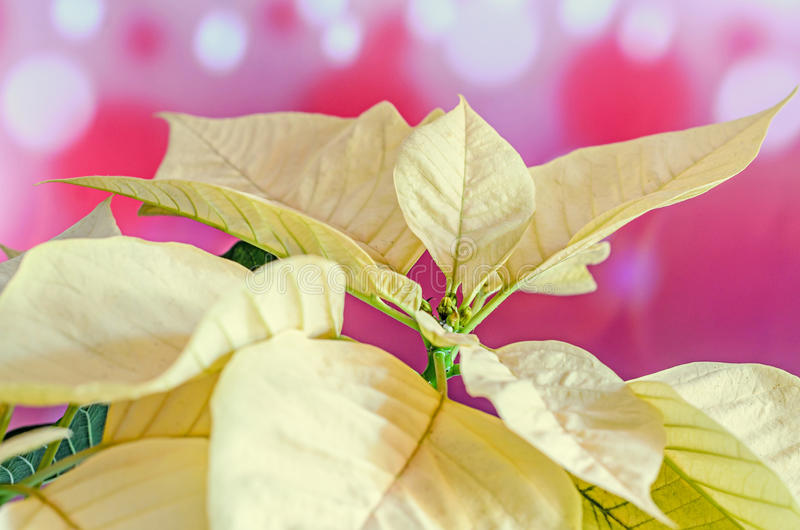 The poinsettia yellow flowers Euphorbia pulcherrima, The Flower of Christmas. The poinsettia yellow flowers Euphorbia pulcherrima, The Flower of the Christmas royalty free stock photography