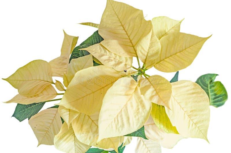 The poinsettia yellow flowers Euphorbia pulcherrima. The Flower of the Christmas, on white background stock photo