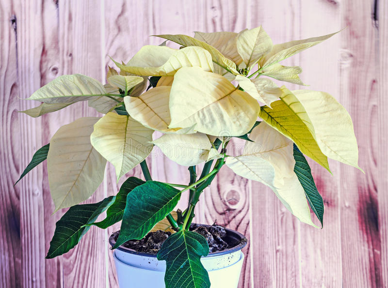 The poinsettia yellow flowers Euphorbia pulcherrima. The Flower of the Christmas, wooden background royalty free stock photo