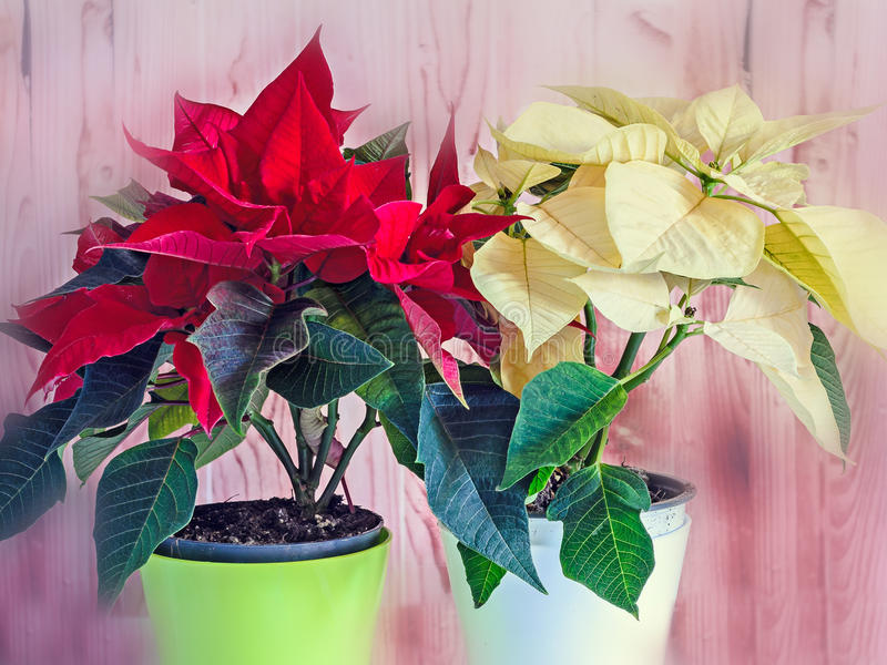 The poinsettia yellow and red flowers Euphorbia pulcherrima. The Flower of the Christmas, blurred wooden background royalty free stock photo