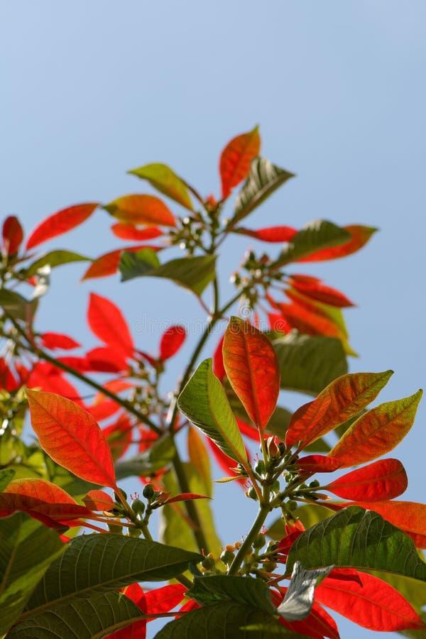 Poinsettiabaum lizenzfreie stockbilder