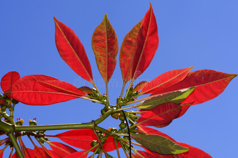 Poinsettiablume stockbilder